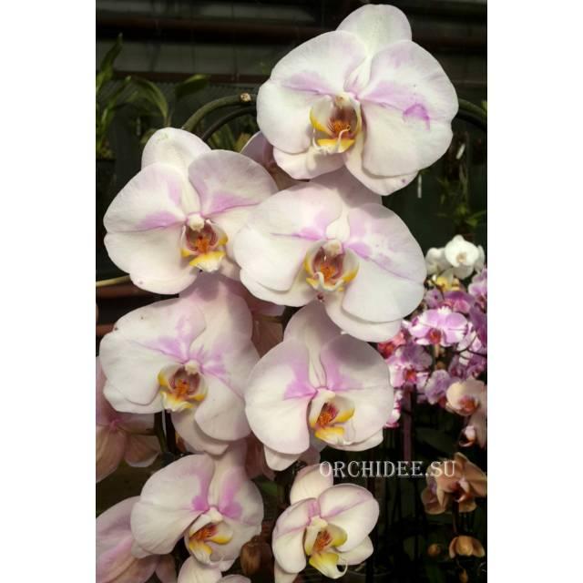 Phalaenopsis PH 147 Dream Cather