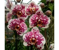 Phalaenopsis PH 203
