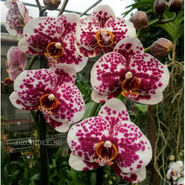 Phalaenopsis PH 203