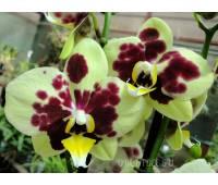 Phalaenopsis PH 238