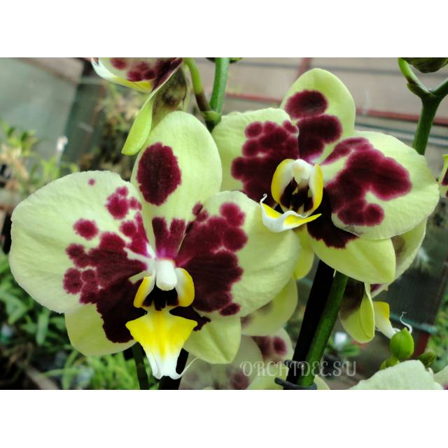Phalaenopsis PH 238
