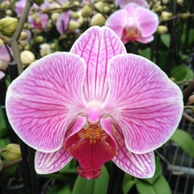 Phalaenopsis PH 239 Anthura Cleveland