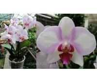 Phalaenopsis PH 240 My Monro 'Make-up'