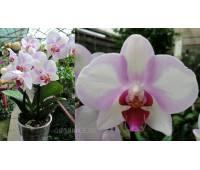 Phalaenopsis PH 240 My Monro 'Make-up'