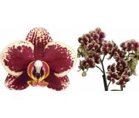 Phalaenopsis PHM 060 Sweet Wise