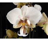Phalaenopsis Brother Pico Chip
