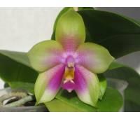 Phalaenopsis Yaphon Evergreen x Phalaenopsis bellina