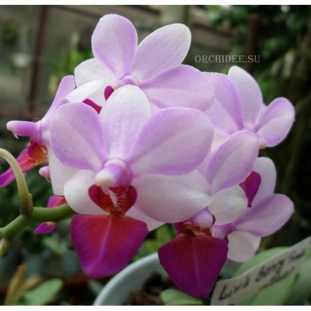 Phalaenopsis Liu's Berry