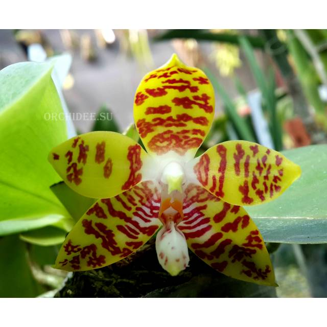 Phalaenopsis ambotrana x Kung's Red Cherry