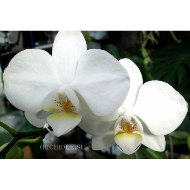 Phalaenopsis PHM 003 Lech