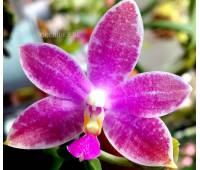 Phalaenopsis speciosa c-1 x violacea sumatra