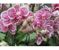 Phalaenopsis PH 059 Taida Little Zebra