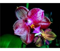 Phalaenopsis Coral Isles x Phalaenopsis Penang Girl