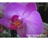 Phalaenopsis PH 099 Diamond Head
