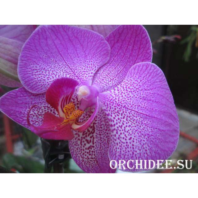 Phalaenopsis PH 099 Diamond Head