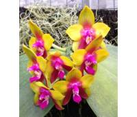 Phalaenopsis Dragon Tree Eagle