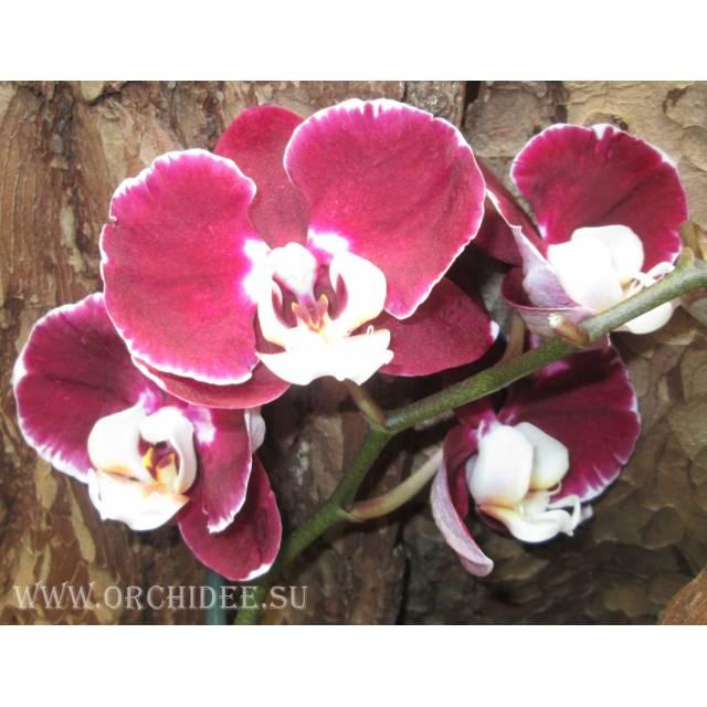 Phalaenopsis PH 031 Elegant Debora