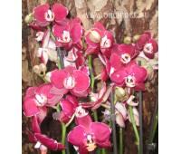 Phalaenopsis PH 039 Elegant Happy Angel