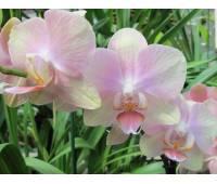 Phalaenopsis PH 041 Gestreept Brighten
