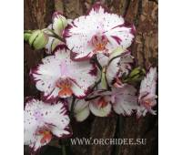 Doritaenopsis DTPS 003 Fursheng`s Mystical Dream `Come True` HCC/AOS