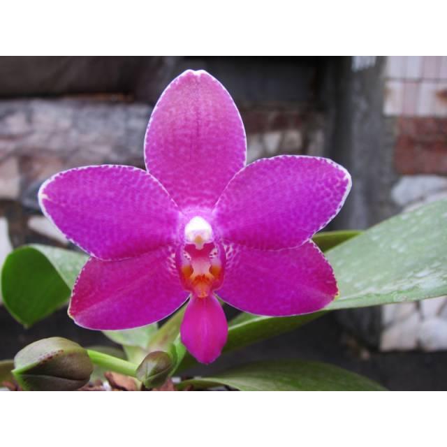 Phalaenopsis Ho's Lovely Amethyst