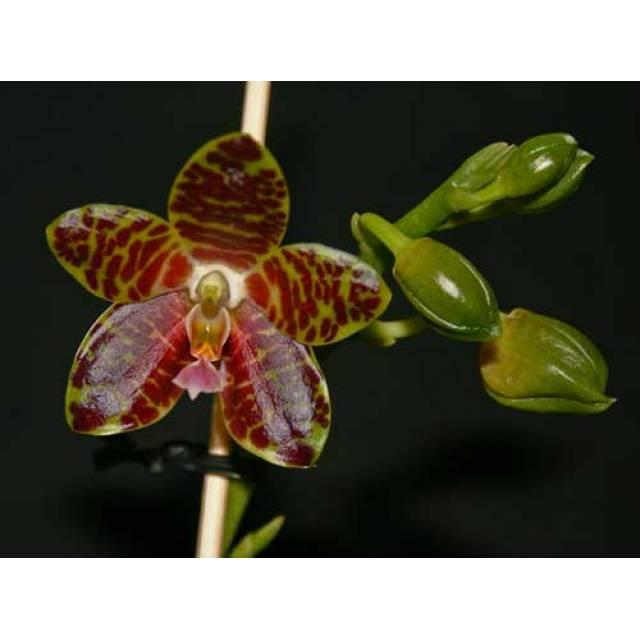 Phalaenopsis Jade Gold (gigantea x venosa)