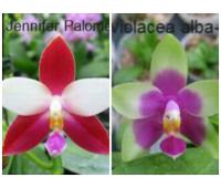 Phalaenopsis Jennifer Palermo c-1 type x phalaenopsis violacea alba-blue