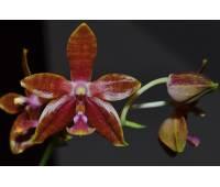 Phalaenopsis Mambo B x mariae