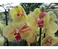 Phalaenopsis PH 192 Mariola