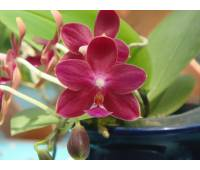 Phalaenopsis Nobby's Pacific Sunset