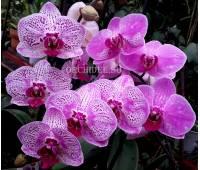 Phalaenopsis PH 100/1 OX Happy Girl