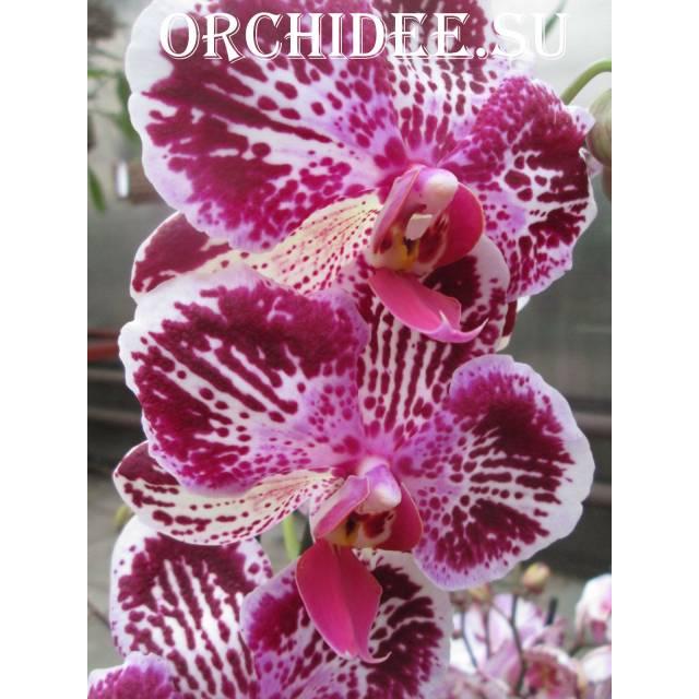Doritaenopsis DTPS 008 Ching Ann Diamond