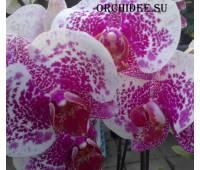 Phalaenopsis PH 112 large
