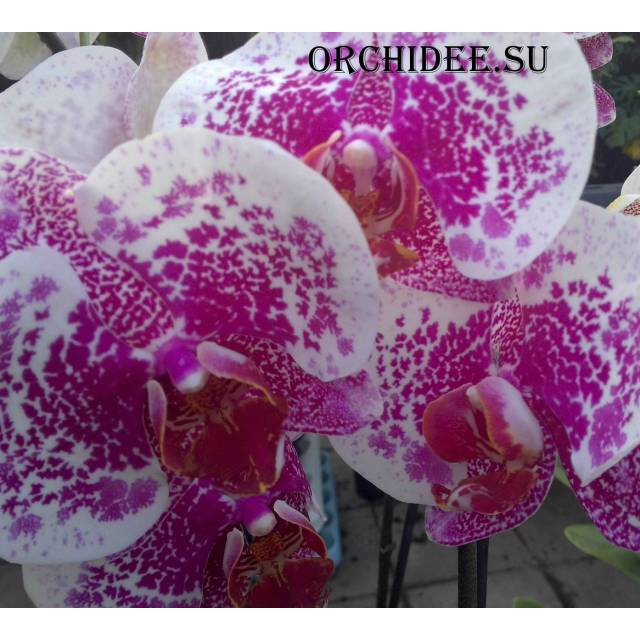 Phalaenopsis PH 112 large