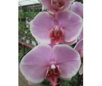 Phalaenopsis PH 211 Romance