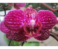 Phalaenopsis PHM 067