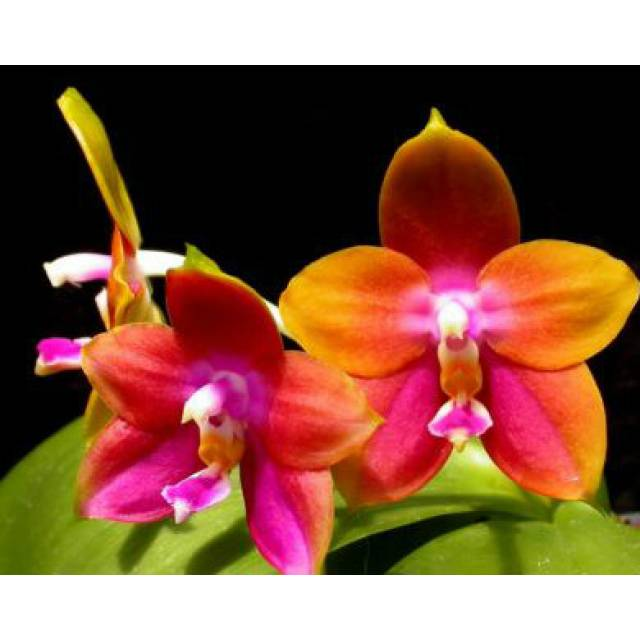 Phalaenopsis Penang Girl 'Ching Ruey'