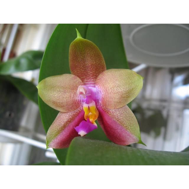 Phalaenopsis Penang girl x sib