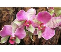 Phalaenopsis PH 058 Rose Anthura