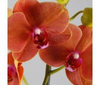 Phalaenopsis PH 111 Surfsong