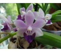 Doritaenopsis Tzu Chiang Sapphire blue