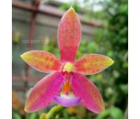 Phalaenopsis Valentine