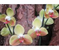 Phalaenopsis Yellow Boy