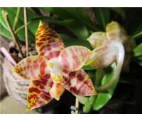 Phalaenopsis amboinensis var common