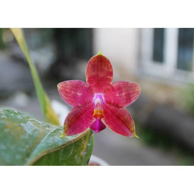 Phalaenopsis amboinensis yellow x Phalaenopsis violacea indigo