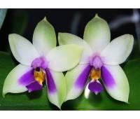 Phalaenopsis bellina blue x sib