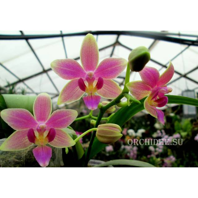 Phalaenopsis cornustris x (Gelbliber x Princess Kaiulani) x Phalaenopsis Chiada Ziv