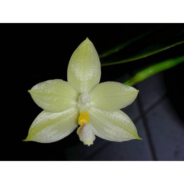 Phalaenopsis floresensis x sib
