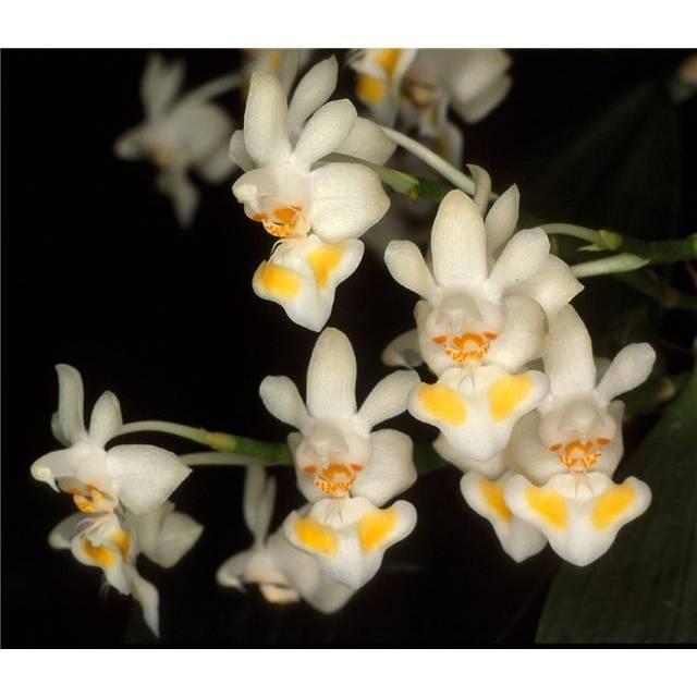 Phalaenopsis gibbosa