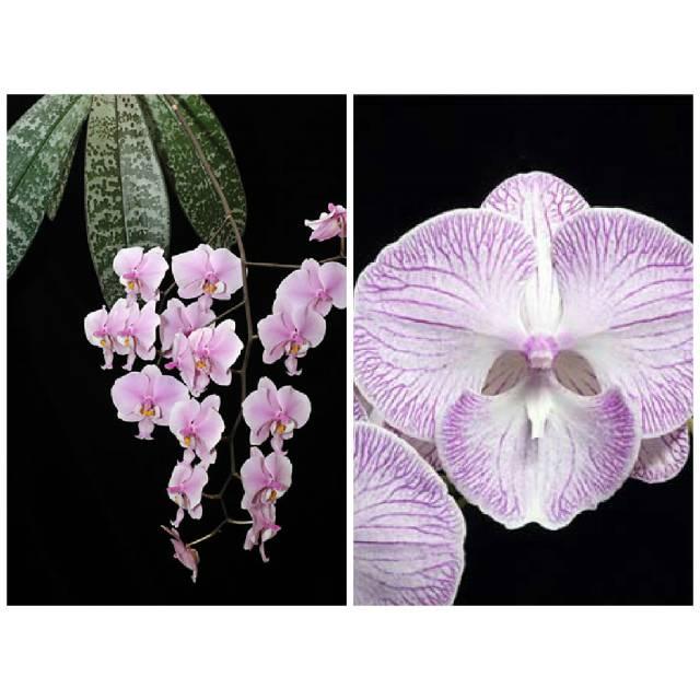 "Phalaenopsis schilleriana x Phalaenopsis Yui-pin Fire Works ""Big Lip"""